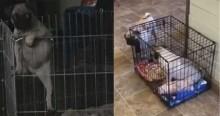 Vídeo: cachorro pug cria armadilha para prender irmãzinha em mini jaula, e ela cai
