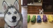 Cachorro husky siberiano tem como hobby destruir apenas os rabinhos de porcos