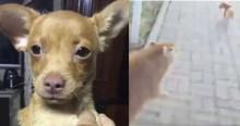 Vídeo: cão pinsher valente vai dar 'oizinho' para capivara mas acaba sendo perseguido
