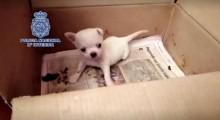 Polícia Nacional da Espanha salva quase 3 centenas de cães em canil ilegal