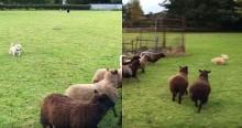 Cachorro pequeno e fofo tenta ser pastor de ovelhas, tudo dá errado e vídeo viraliza (veja o vídeo)