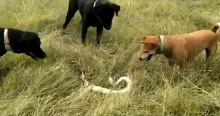 No instinto de salvar dono, cães atacam cobra venenosa e não se machucam (veja o vídeo)