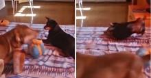 Cão brincalhão dá 'bundada' em irmã canina, ela revida e vídeo viraliza