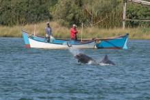 Golfinhos auxiliam pescadores a pegar mais peixes e pescaria rende muito mais em SC