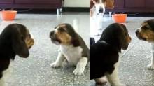 Em vídeo hilário, filhotes de beagle brigam e mãe os repreende apenas com o olhar