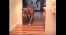 Pitbull anda com muito, muito cuidado para não incomodar gato (veja o vídeo)