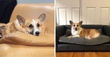 Cão Corgi tem patas curtas demais para pular em sofás, então ganha um do seu tamanho
