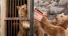 Ursos que nunca sentiram calor do sol são resgatados de cativeiro criminoso