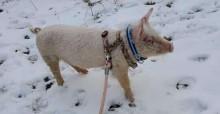 Tutora que perdeu cão adota porquinho que fugiu de leilão: 'Virou meu animal de estimação'