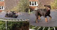 Em vídeo viral e hilário, rottweiler eufórico se esbalda brincando em cama elástica