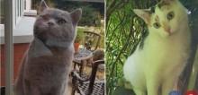 Pretendente insistente: gato vai todos os dias até a casa de gata que o ignora (veja o vídeo)