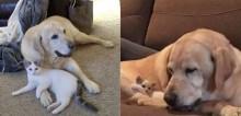 Cão labrador adota e cuida de gatinho recém nascido como se fosse seu e viraliza
