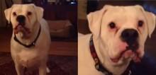 Cachorro boxer dá 'piti' todas as noites para sua dona dormir juntinho com ele (veja o vídeo)