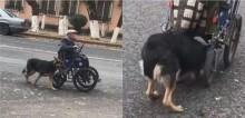 Idoso de 70 anos sem família tem como único companheiro cão pastor alemão que empurra sua cadeira de rodas