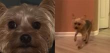 Cachorro yorkshire põe ladrões para correr mesmo baleado duas vezes e salva vida de dona