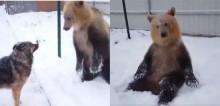 Ignorado por seu amigo cão, urso brinca na neve sozinho alegremente em vídeo viral