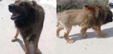 Cachorro parecido com leão assusta habitantes e polícia é acionada