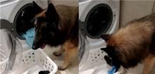 Prestativo, cachorro ajuda dona a colocar e retirar roupas da máquina de lavar (veja vídeo)