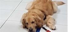 Em Fortaleza, por causa de ar-condicionado, cão golden retriever se recusa a deixar Banco e dono precisou pedir ajuda