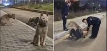 Cães leais cuidam de dono que caiu alcoolizado na rua, não saindo de perto dele (veja o vídeo)