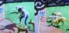 Mulher fica bravamente entre cobra altamente venenosa e seus cachorros para defendê-los de ataque (veja o vídeo)