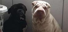 Cadela da raça shar pei ataca ladrões e impede que eles levem seu parceiro canino