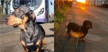 Cachorro dachshund resolve ir passear sozinho e pega ônibus percorrendo 32 km com destino para praia