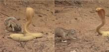 Esquila corajosa enfrenta cobra para proteger seus filhotes (veja o vídeo)