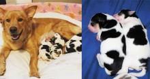 Cadela vira-lata dá à luz a cães que parecem com bezerros