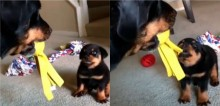 Filhote afrontoso tenta intimidar cão rottweiler em disputa por brinquedo (veja o vídeo)