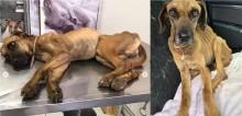 Cão com anemia severa é resgatado após perder 30kg por negligência de dono, não resiste ao tratamento e morre no DF