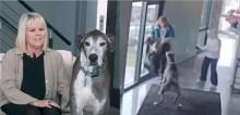 Cachorro dogue alemão salva dona de tentativa de assalto em sua residência - veja o vídeo