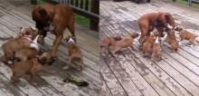 Cachorro descobre o que é a paternidade ao ser rodeado por seus filhotes; veja o vídeo