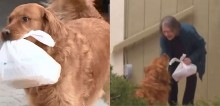 Cão golden retriever faz compras e entrega para vizinha pertencente ao grupo de risco em quarentena nos EUA (veja o vídeo)
