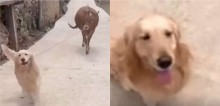 Cão golden retriever tem hábito de passear e voltar com 'presente' para casa: dessa vez foi uma vaca (veja vídeo)