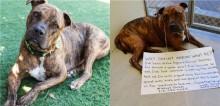 Triste por não ser adotado, pitbull para de comer e voluntários criam campanha emocionante para encontrar uma família para ele
