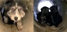 Protegendo os filhotes da neve, cadela os mantém dentro de cano de drenagem e pede por ajuda