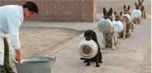 Extremamente disciplinados, cachorros policiais esperam em fila para serem alimentados
