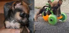 Chihuahua que nasceu sem patas dianteiras ganha carrinho de rodas sob medida (veja o vídeo)