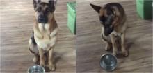 Insatisfeito com tigela vazia, cão pastor alemão 'discute' com dono em vídeo hilário