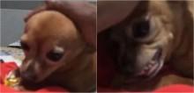 Dono tenta conversar com cão pinscher após ser chamado na creche por causa da brabeza do canino (veja o vídeo)