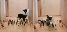 Nova moda desafio gato versus cachorro: donos compartilham vídeos hilários de pets passando por obstáculos