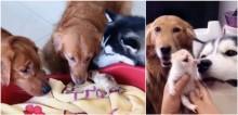 Dois cães goldens e um husky dão amorosas boas-vindas para três gatinhos recém-nascidos
