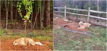 Cachorro golden retriever demonstra luto por seus amigos deitando-se sobre os seus túmulos e comove a internet