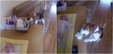 Cachorro beagle amoroso é filmado ajudando pais a trocar fralda suja de bebê