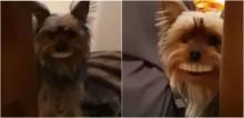 Dono flagra seu cachorro yorkshire encontrando sua dentadura e vídeo viraliza