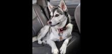 Para tratar câncer, cão husky precisa de cirurgia de 10 mil dólares e namorada do dono não aceita gasto de dinheiro