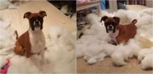 Cão da raça boxer 'redecora' quarto de dono, fica feliz com o resultado e vídeo viraliza