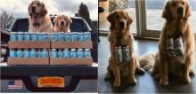 Empresários usam seus cães golden retrievers como entregadores de cerveja durante distanciamento social
