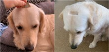 Dona tosa cabeça de cadela golden retriever acidentalmente e corte acaba parecendo a entrada de um cofrinho